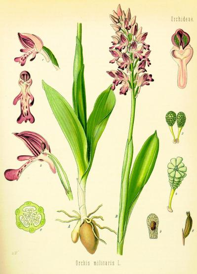 Orchis militaire 004 planche identification koehler